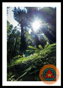 Avenue Of The Giants Redwood Trees California Framed Print By Wingsdomain Art And Photography